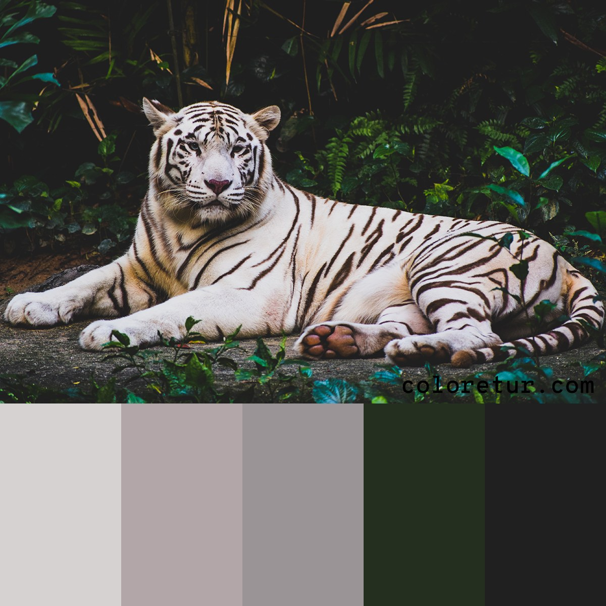 A neutral palette from an albino tiger in the wild