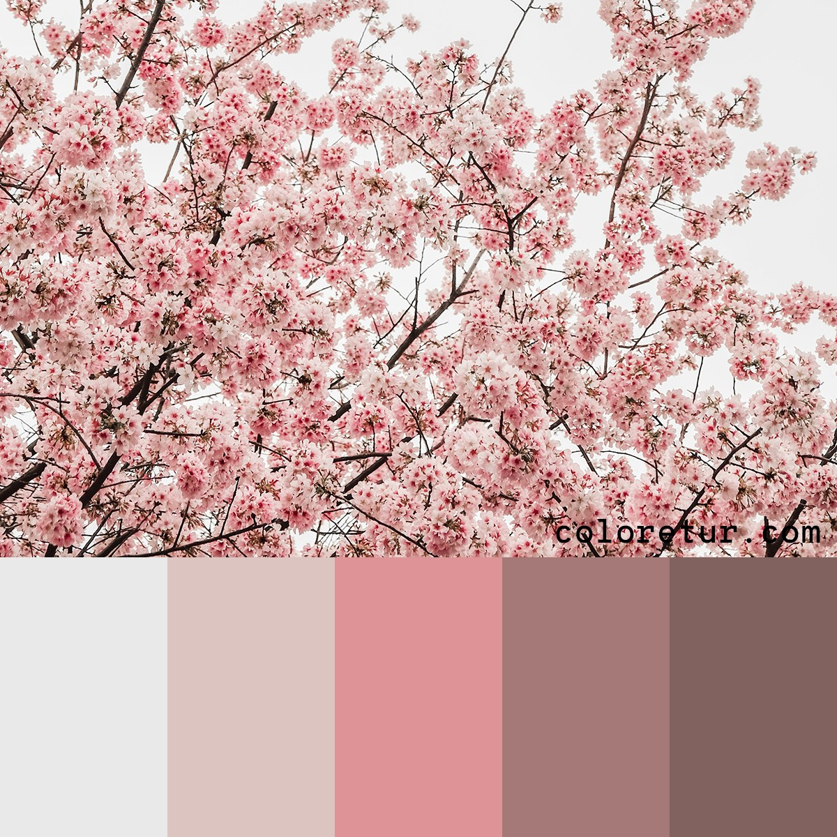 Cherry blossom colour palette