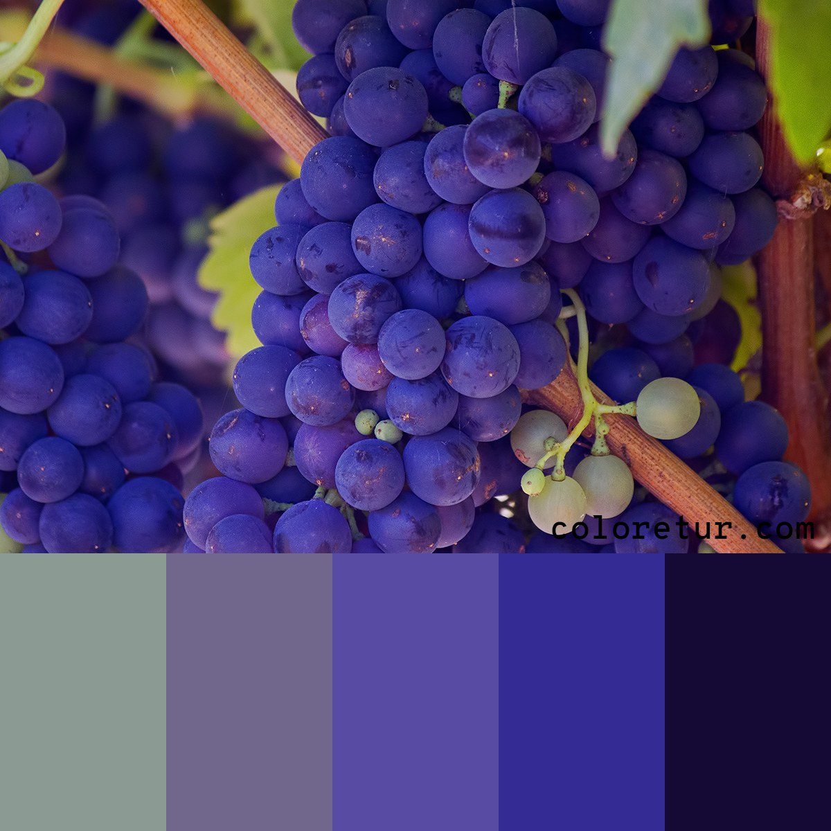Swatches from a bunch of purple grapes