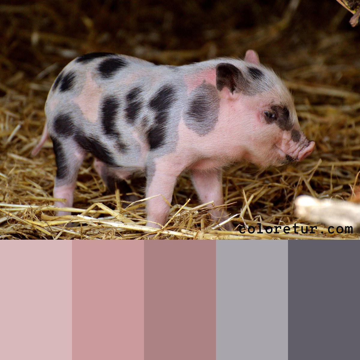 A soft pink and grey palette from a baby piglet.