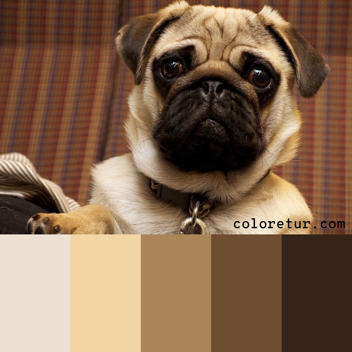 A soft, warm palette from a pug puppy.