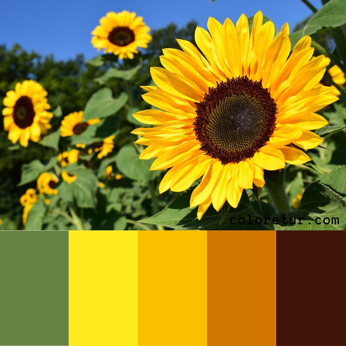 A bright sunflower makes a vibrant color palette.